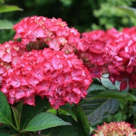 Hydrangea Selma ideal for pots