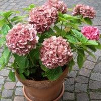 Mop head Hydrangea grown in a pot