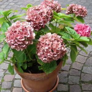 Mop head Hydrangea grown in a pot