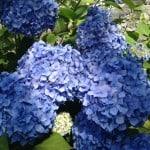 blue mop head hydrangea flower