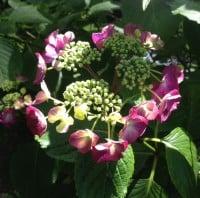 dark pink lacecap hydrangea