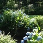 hydrangea along stream