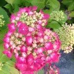 pink Mop head Hydrangea