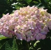 hydrangea light pink