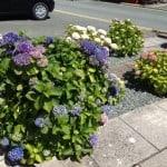 Hydrangeas in Wales