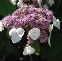 hydrangea white lacecap
