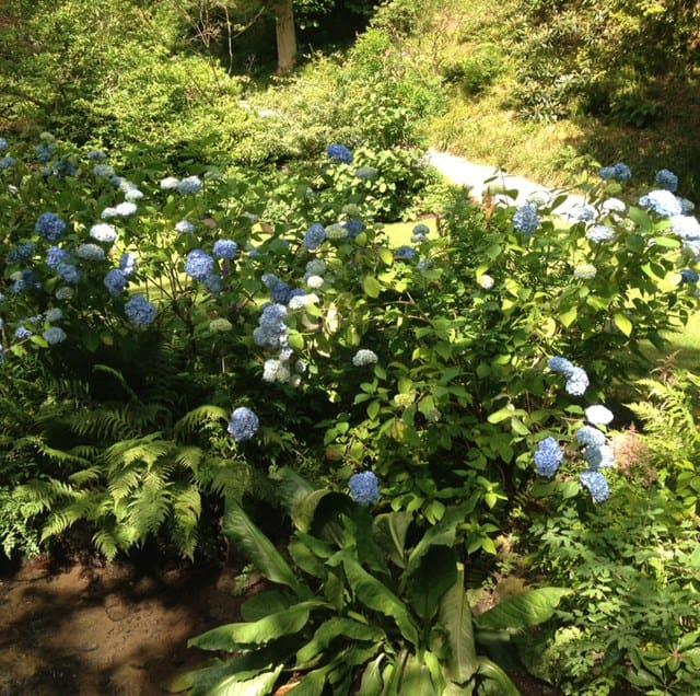 large blue hydrangea 2