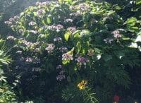 large hydrangea