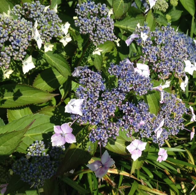 light blue lacecap hydrangea