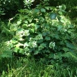 oaklead hydrangea in semi shade