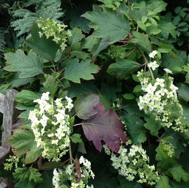 oakleaf hydrangea flowering