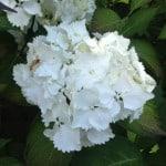 pure white mop head hydrangea