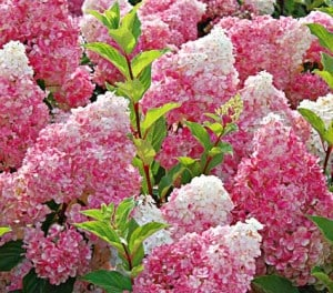 vanilla strawberry hydrangea